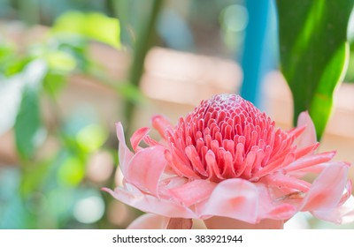 Pink blossom Torch Ginger flower isolated