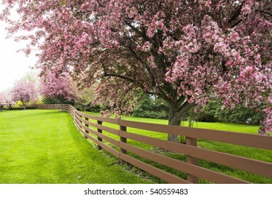 Pink blossoming trees along a fence. Spring time background.