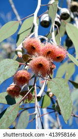 Pink blossoms and gum nuts and white bark of the Western Australian native Eucalyptus caesia, family Myrtaceae. Commonly known as the Silver Princess