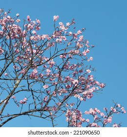 Pink blossoms of a Japanese flowering cherry tree (Prunus serrulata) against a cloudless blue sky in spring