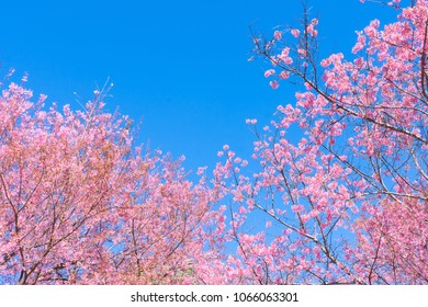 Pink blossoms on the branch with blue sky during spring blooming. Branch with pink sakura blossoms and blue sky background. Blooming cherry tree branches against a cloudy blue sky