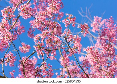 Pink blossoms on the branch with blue sky during spring blooming Branch with pink sakura blossoms and blue sky background. Blooming cherry tree branches against a cloudy blue sky Himalayan blossom