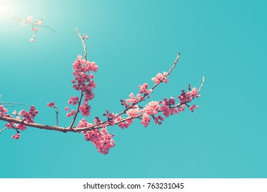 Pink blossoms on the branch with blue sky during spring blooming Branch with pink sakura blossoms and blue sky background.soft focus and retro color toned.