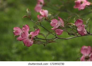 Pink blossoms on a dogwood tree (Cornus florida) seem to float in air against a lush green grass background in spring May 2020.