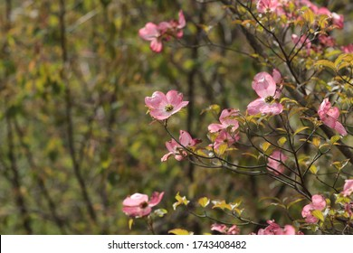 Pink blossoms on a dogwood tree (Cornus florida) float against a background of branches leafing out on a spring day in May 2020.