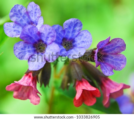 Pink blue flowers unspotted lungwort suffolk stock photo edit now pink and blue flowers unspotted lungwort or suffolk lungwort pulmonaria obskura in the early mightylinksfo