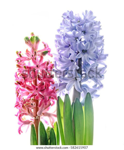 Pink, blue Hyacinthus orientalis, garden hyacinth flowers, window light