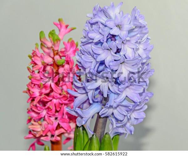 Pink, blue Hyacinthus orientalis, garden hyacinth flowers, isolated.