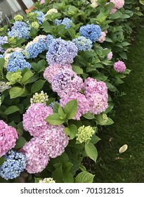 Pink and blue Hydrangeas in garden
