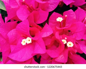 Pink bougainvillea Backgrounds