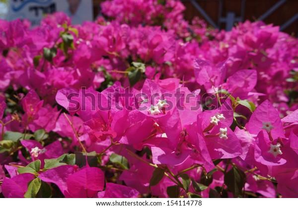 Pink bougainvillea blossom