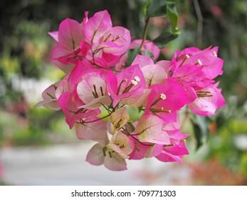 Pink bougainvillea flower blossom in Taiwan