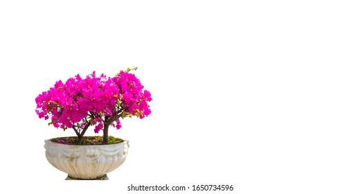 Pink bougainvillea flower in a concrete pot. Bright light in the room. Beautiful composition with bougainvillea flower near white wall. Space for text.