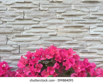 Pink Bougainvillea Flower cover white brick wall