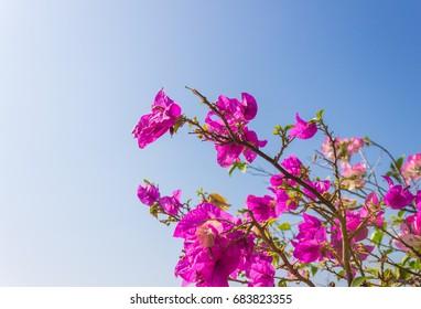 Pink Bougainvillea flower on blue sky background. Pink Red Bougainvillea. Beautiful Bougainvillea flower. Bougainvillea for design.