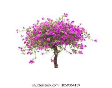 Pink bougainvillea flower tree isolated on white background