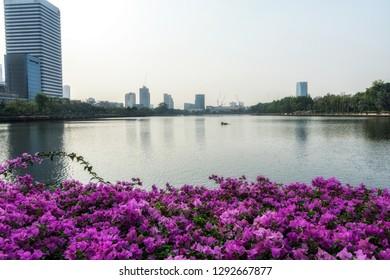 Pink bougainvillea flowers in Benjakiti park in Sukhumvit, Bangkok, Thailand