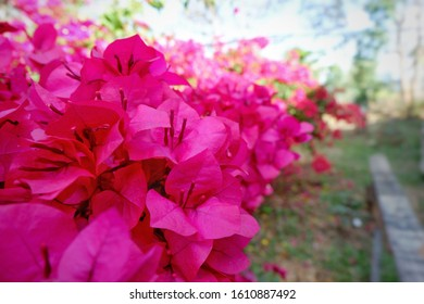 Pink Bougainvillea flowers blooming in garden at home.blooming bougainvillea.Magenta bougainvillea flowers. bougainvillea flowers as a background. floral background.Close up.