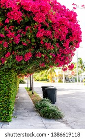 Pink bougainvillea flowers canopy in Florida Keys or Miami green plants landscaped lining sidewalk street road during summer spring day with trash bins