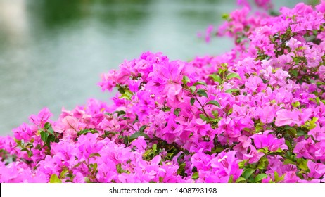 Pink bougainvillea flowers closeup. Blooming pink bougainvillea.
