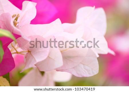 Pink bougainvillea flowers inspirational quotes seasonal stock photo pink bougainvillea flowers inspirational quotes or seasonal wishes can be written on it mightylinksfo