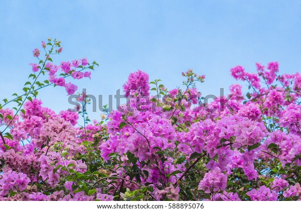 pink bougainvillea flowers on blue sky background