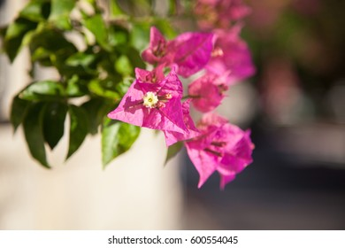 Pink bougainvillea flowers are on sunny street of old town.
