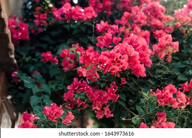 Pink bougainvillea flowers.Bougainvillea, genus of thorny ornamental vines, bushes, and trees with flower-like spring leaves near its flowers.Blooming bougainvillea flowers background. Toned image