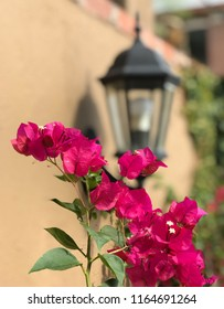 Pink bougainvillea in front of a lantern