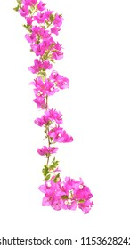 Pink Bougainvillea tree isolated on white background. With clipping path.