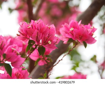pink bougainvillea in the white shining sky