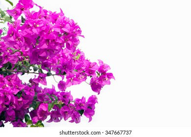 Pink bougainvilleas isolated on white background.