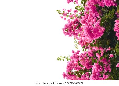 Pink bougaville flowers with green leaves.