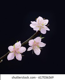 pink branch cherry closeup isolated-black background