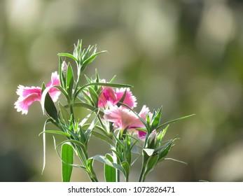 Pink budding flower shot.
