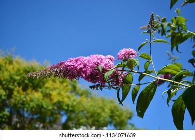 Pink buddleja flower