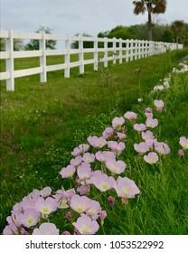 Pink Buttercups along a white fence