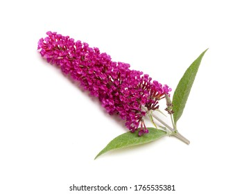 A pink butterfly bush flower (Buddleja) isolated on a white background