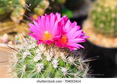 pink cactus flower, selected focus
