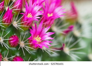 Cactus flower images stock photos vectors shutterstock pink cactus flowers and white cactus spines on green cactus background mammillaria compressa mother mightylinksfo Image collections