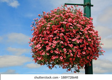 Pink calibrachoa in a flower basket on a lightpole; city of St. Croix Falls, Wisconsin's street decorations.