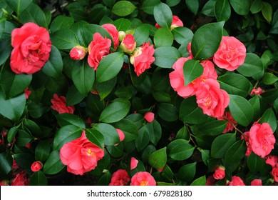 Pink Camelia Flowers