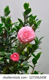Pink Camelia Flowers in the garden