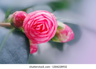 Pink Camellia buds, close up macro. Springtime background