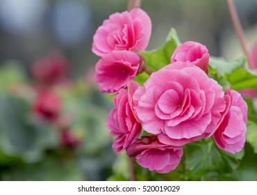 Pink camellia flower blooming in the garden at the middle of sunny spring day with green leaf background