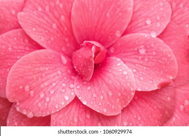 Pink Camellia Flower,  close up. Camellia japonica Mrs. Tingley, close up
