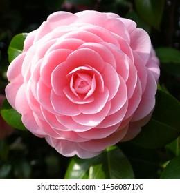 Pink camellia flower in garden
