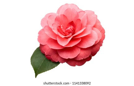 Pink Camellia Flower with green leaf isolated on white background