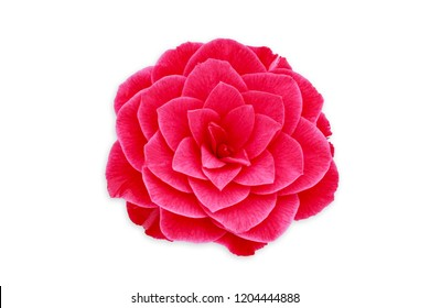 Pink Camellia Flower,  isolated on white. Camellia japonica, close up