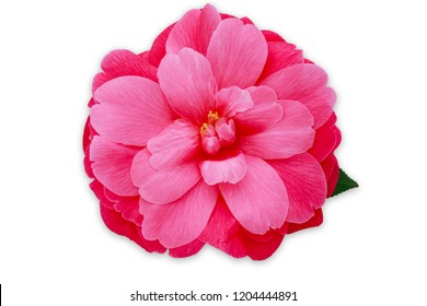 Pink Camellia Flower,  isolated on white. Camellia japonica Mrs. Tingley, close up